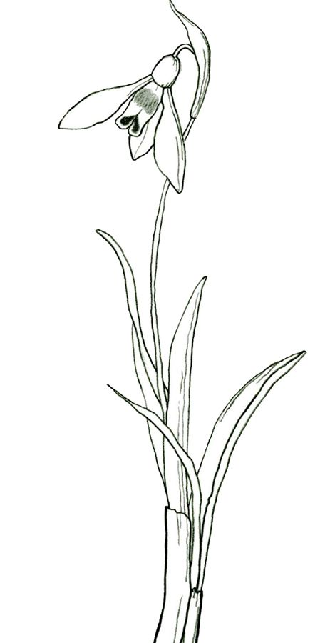 Stylised Snowdrop Drawing Beautiful Flower Drawings Drawings Flower Drawing