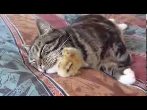 el pollito y el gato - YouTube