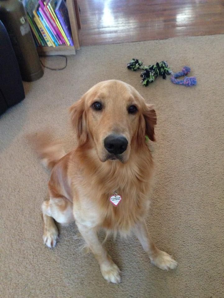 Adopt Sebastian On Puppy Obedience Classes Dogs Dogs Golden