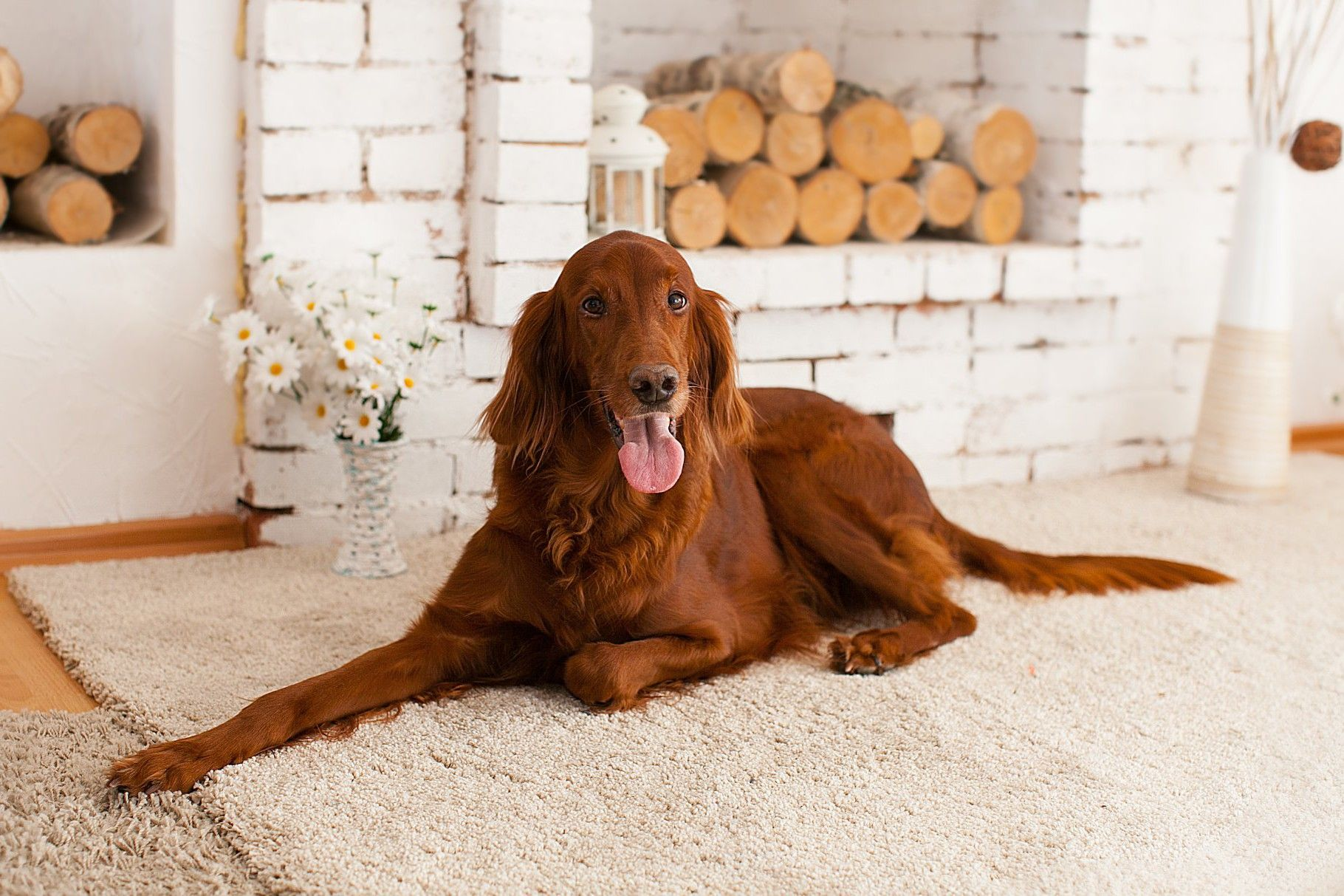 Картинка собака сеттер