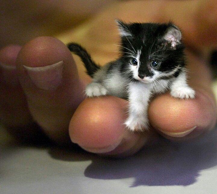 Smallest Kitten In The World Tiny Cats Cute Animals Kittens Cutest