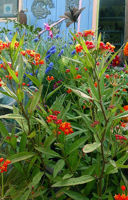 """Red Butterfly Milkweed Asclepias Curassavica Red: Asclepias Curassavica 'Silky Deep Red' """"Milkweed"""""""