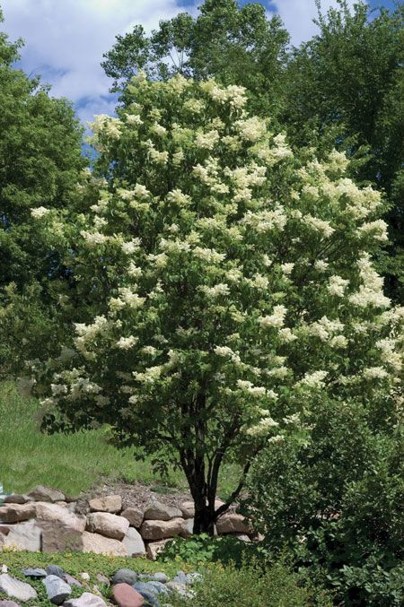 Ivory Silk Lilac Tree Zones 3 7 Height 25 Width 15 Japanese Lilac Tree Lilac Tree Japanese Tree