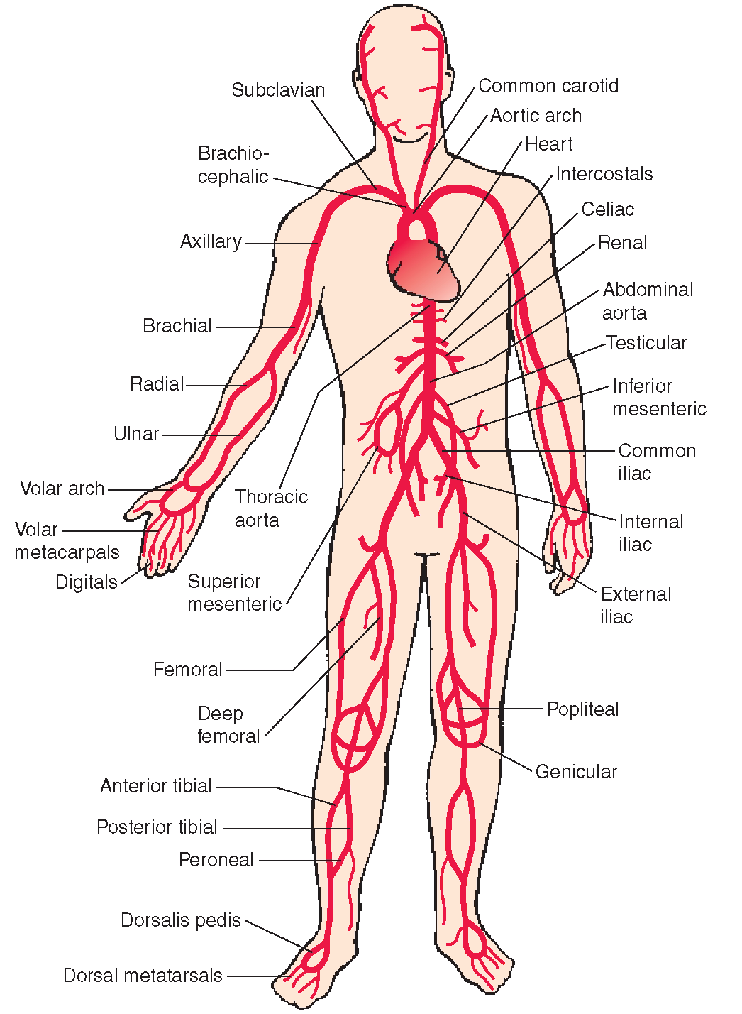 Principal systemic arteries. The arterial system carries ...