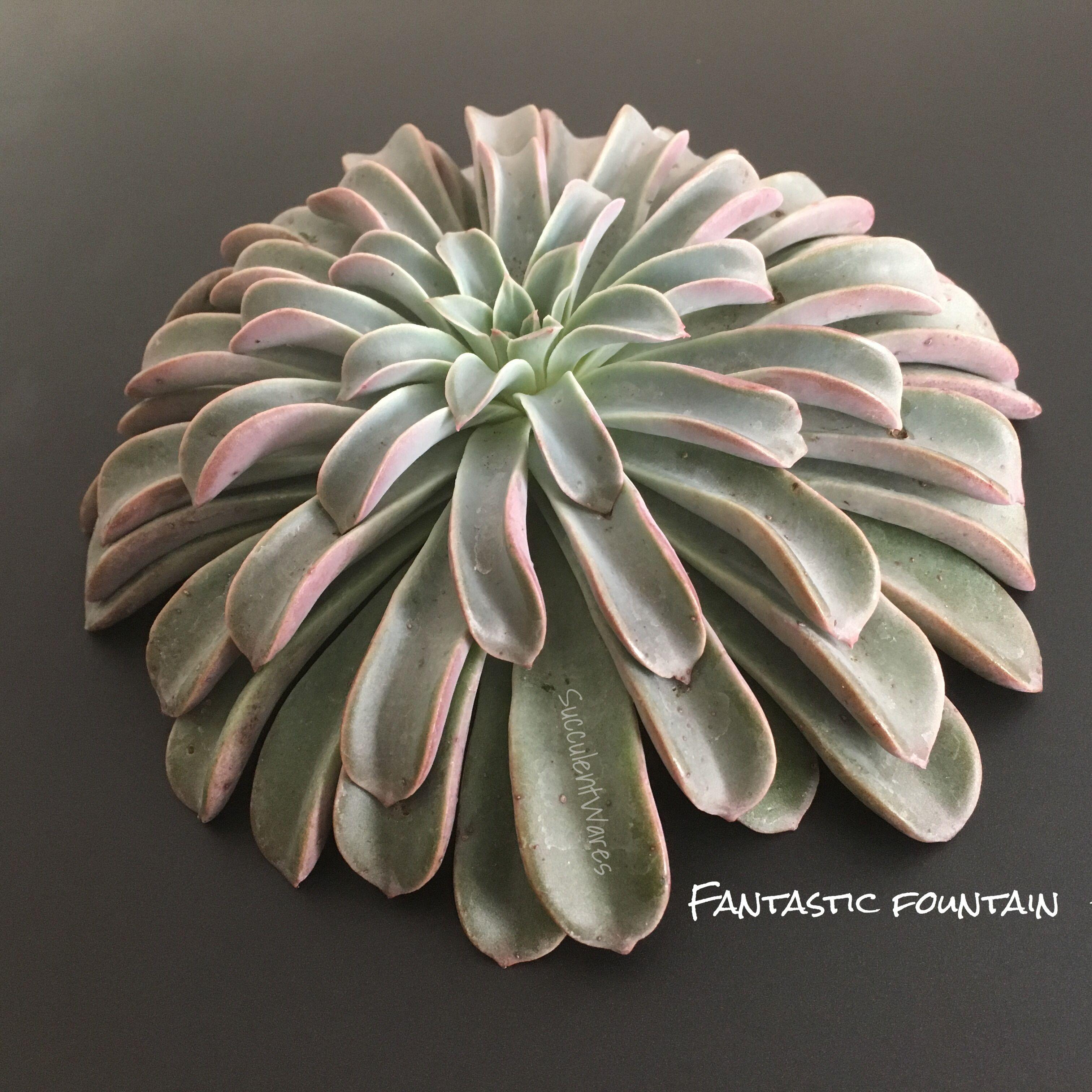 Echeveria Fantastic Fountain Cactees Plante Succulentes