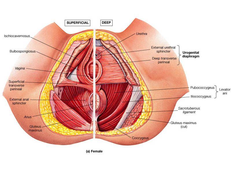 Muscle Identification   Anatomía   Pinterest   Beckenboden