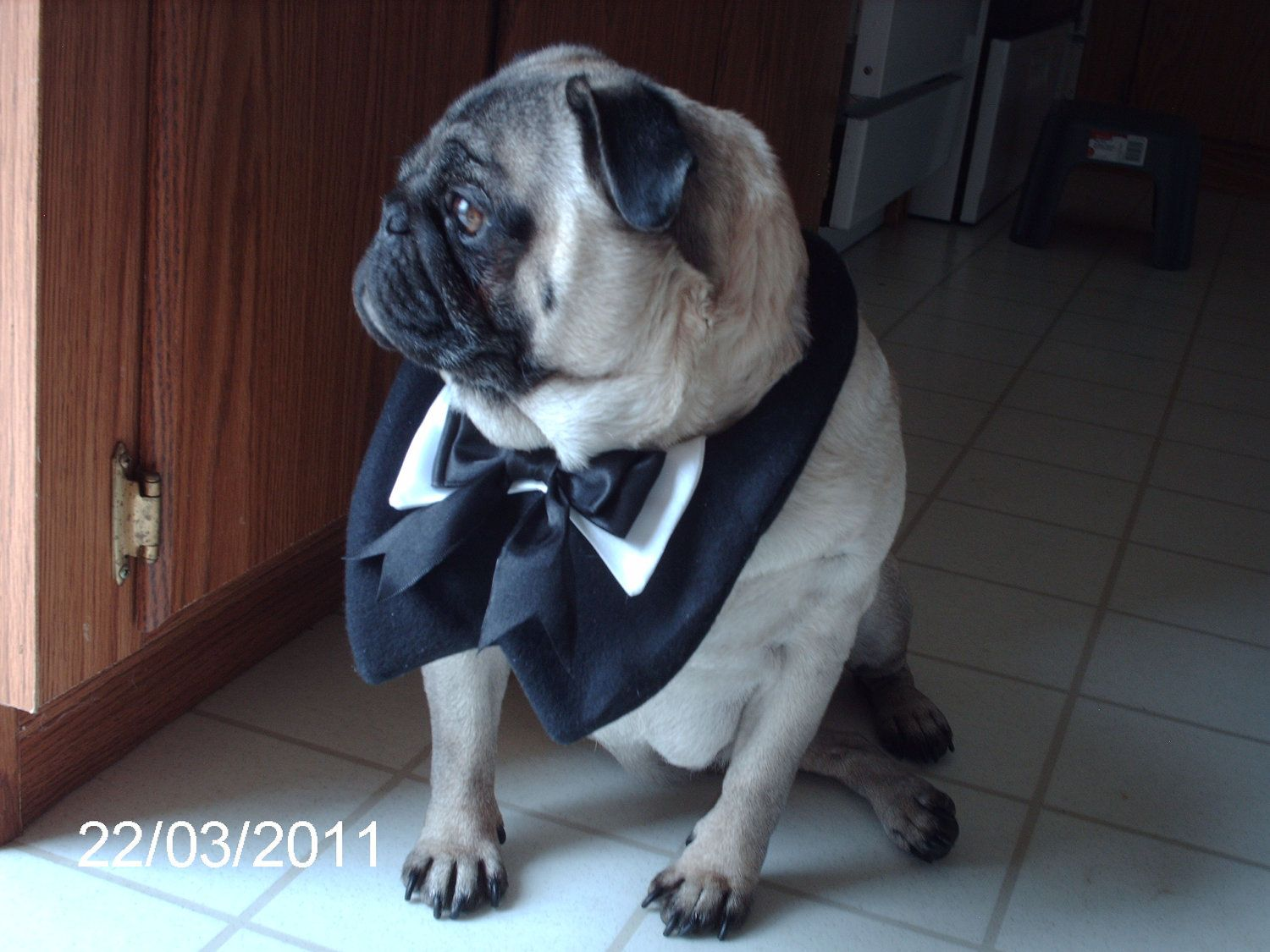 Formal Puxedo With Bowtie Pugs Pug Love Pug Rescue
