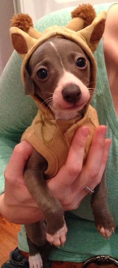 ~ An Italian Greyhound in the cutest giraffe outfit! Just look at that happy face ~ ❤ ~