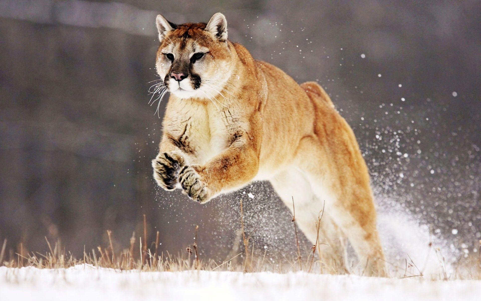 Mountain Lion Mountain Lion Wild Animal Wallpaper Animals Beautiful