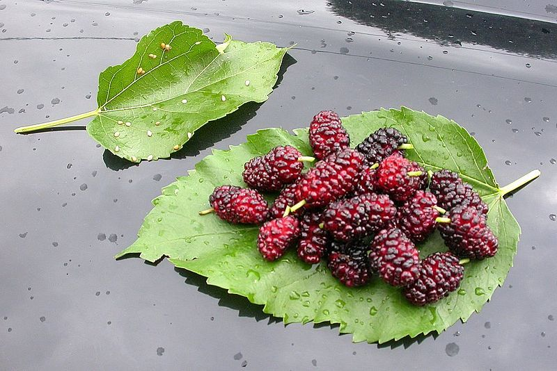 bd59c1e820 Benefits Of Mulberry Plant - Morus Alba Leaves And Mulberries For Health  Because our tree is now dropping millions of mulberries and we need to pick  them!