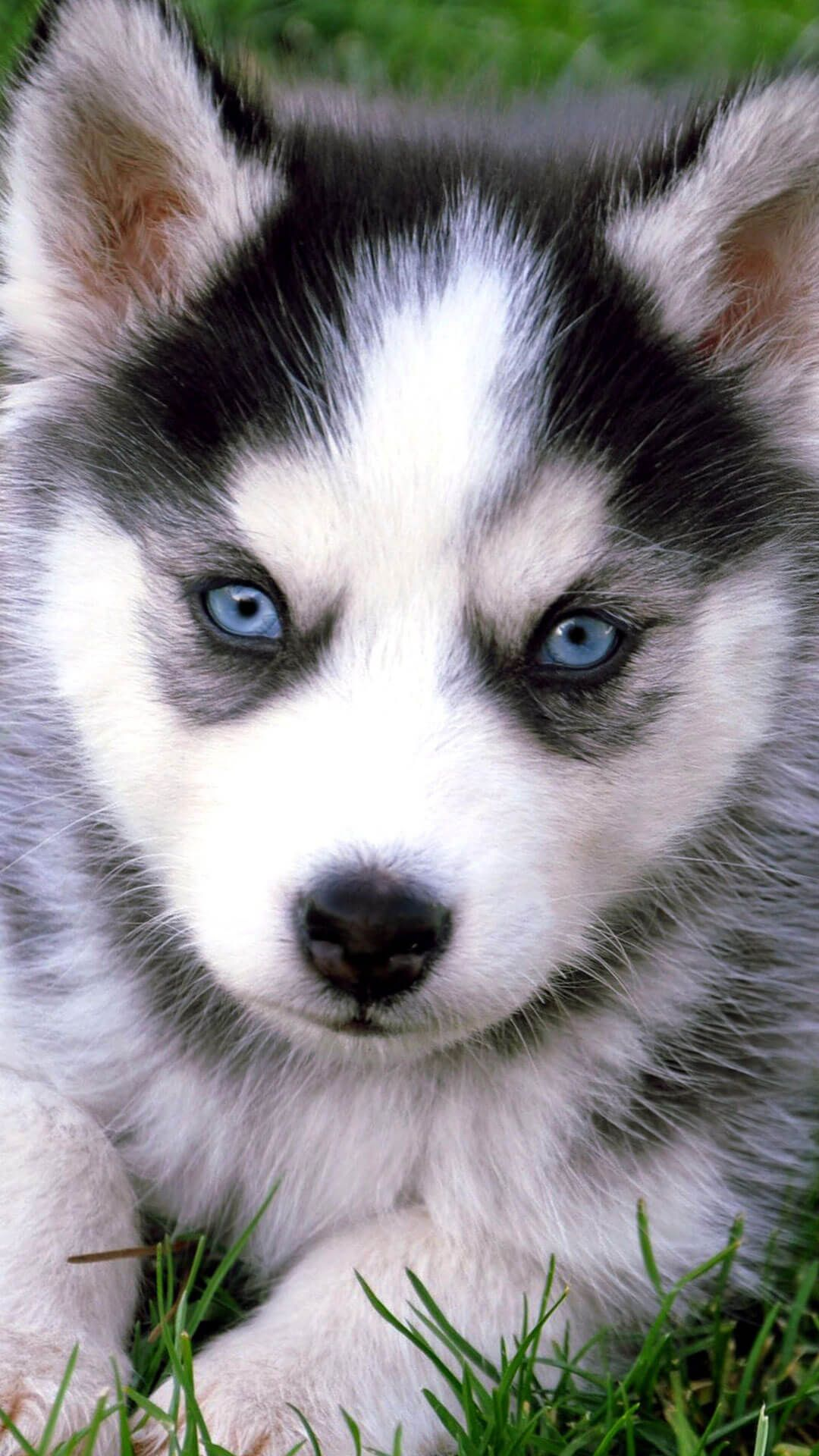 Cute Husky Puppies With Blue Eyes Iphone Wallpaper Hd
