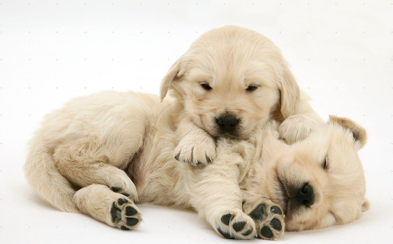 Two Sleepy Golden Retriever Pups Golden Retriever Puppy Cuddles Puppies