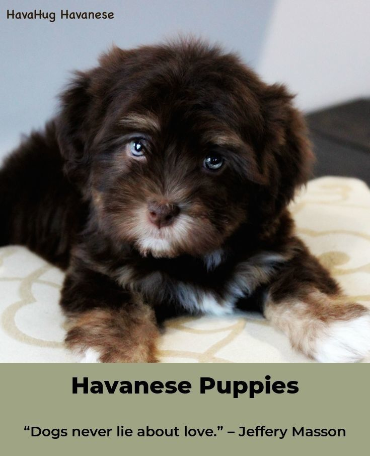 Havanese Mix Puppies For Sale Near Me 2021