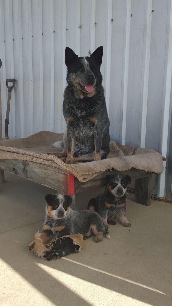 Blue Heeler Mom Standing Proud Australian Cattle Dog Blue Heeler