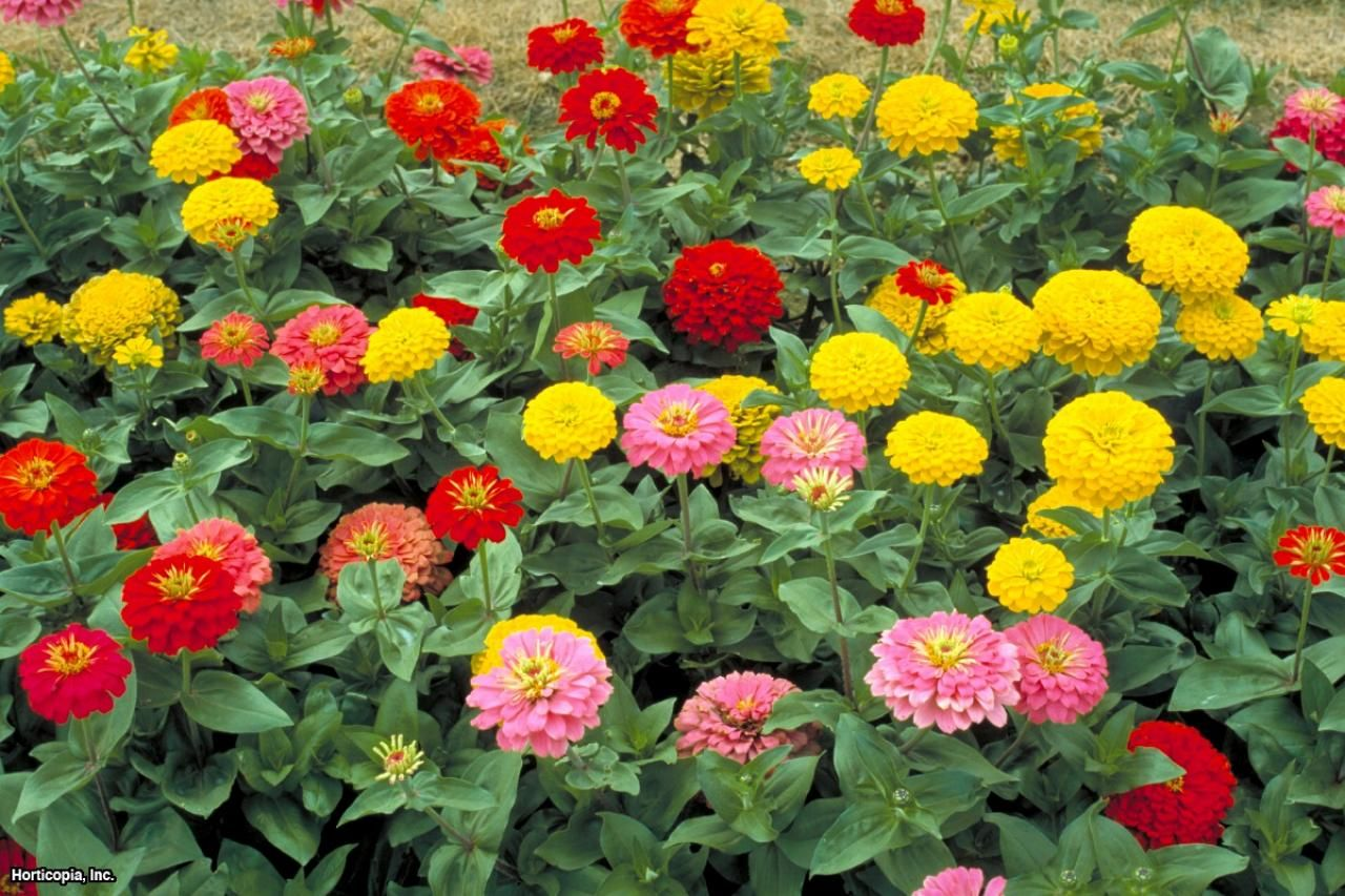 Annual flowers and plants what are they zinnias fast growing this edible annual is known for its fast growing habit izmirmasajfo