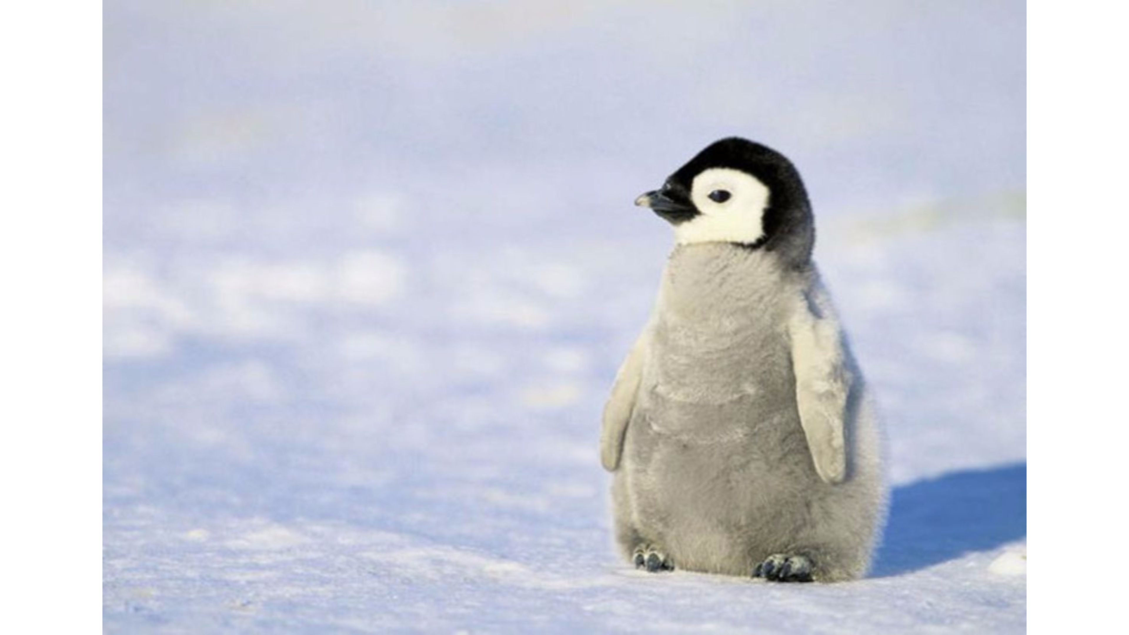 animals wallpaper cute penguin wallpapers mobile for hd wallpaper