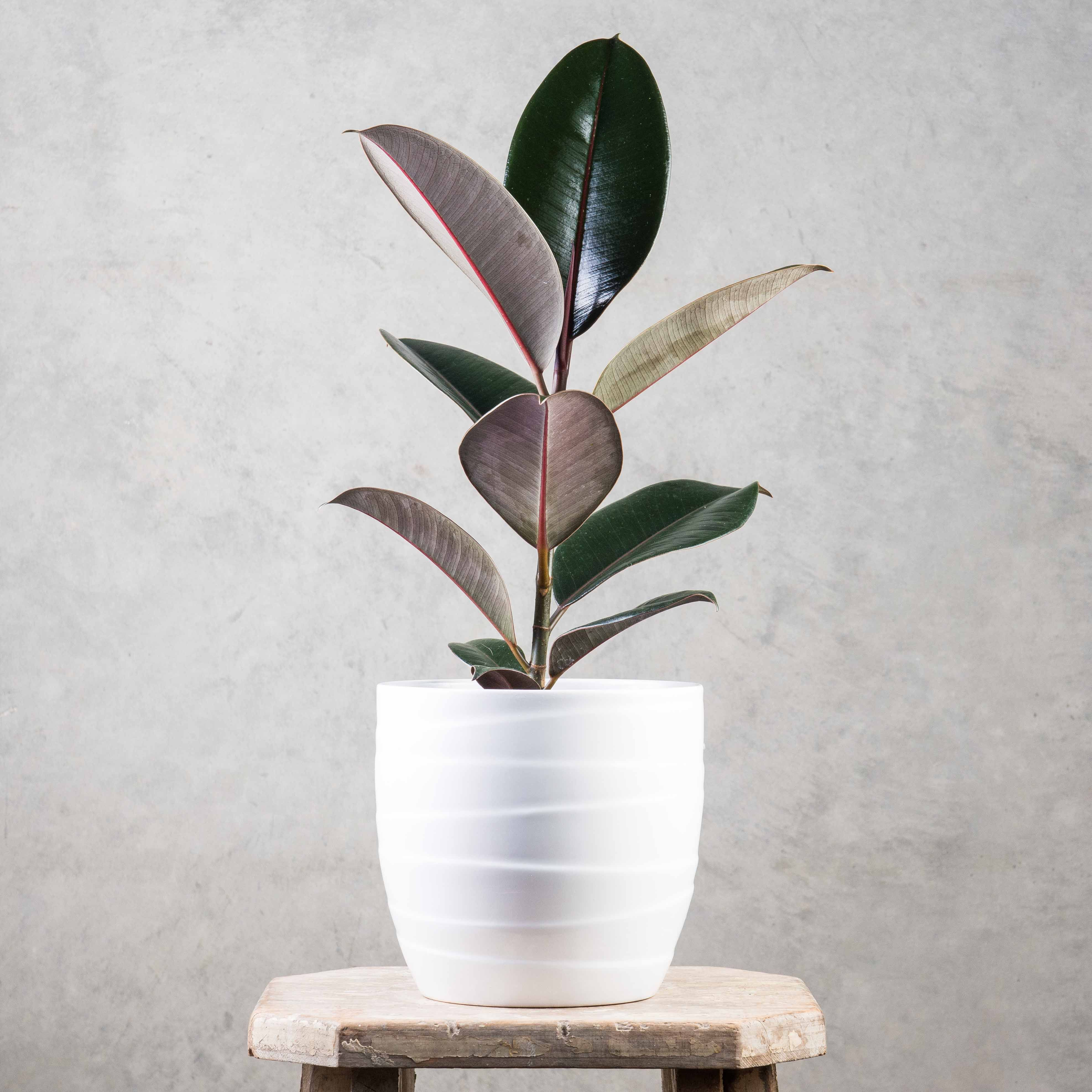Ficus Black Knight  Any Child From The 70S Would