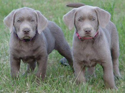 Oregon Labradors And Washington Labradors Silver Lab Puppies Silver Labrador Puppies Silver Labs
