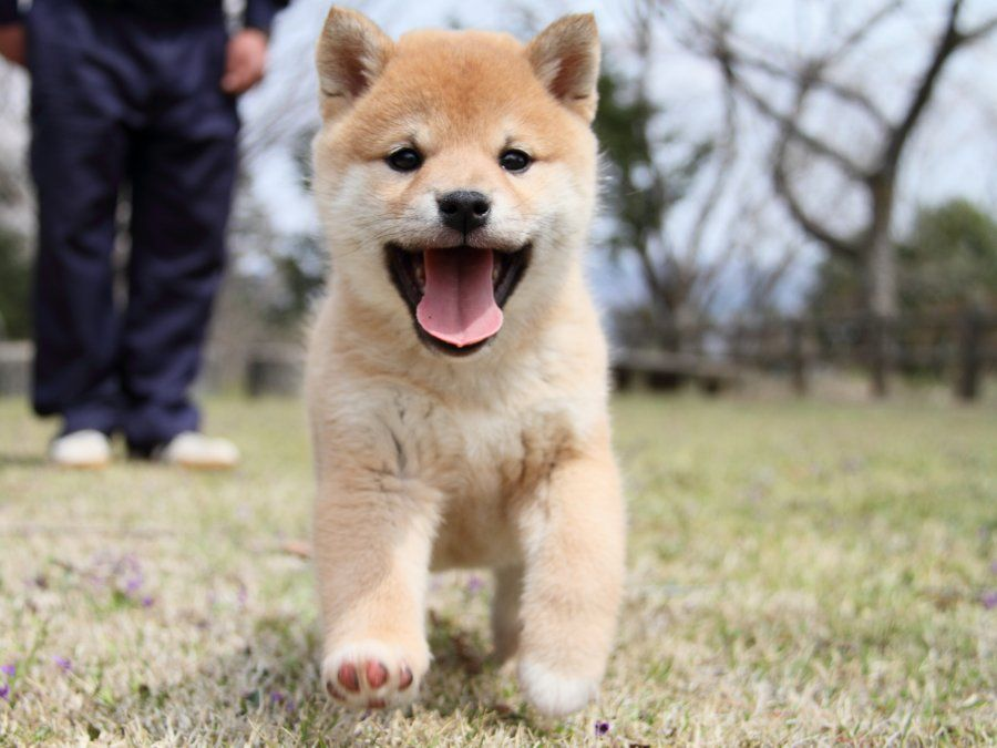 画像 : 【柴犬】かわいい柴犬画像まとめ【豆柴】 - NAVER まとめ