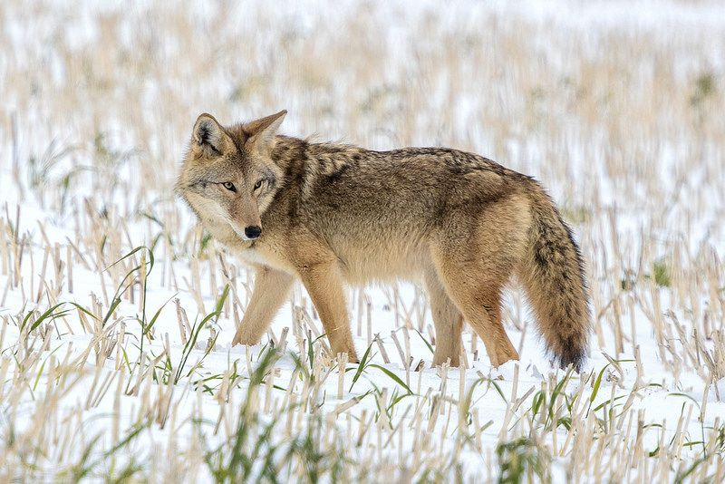 coyote Coyote inYellowstone National Park Northern