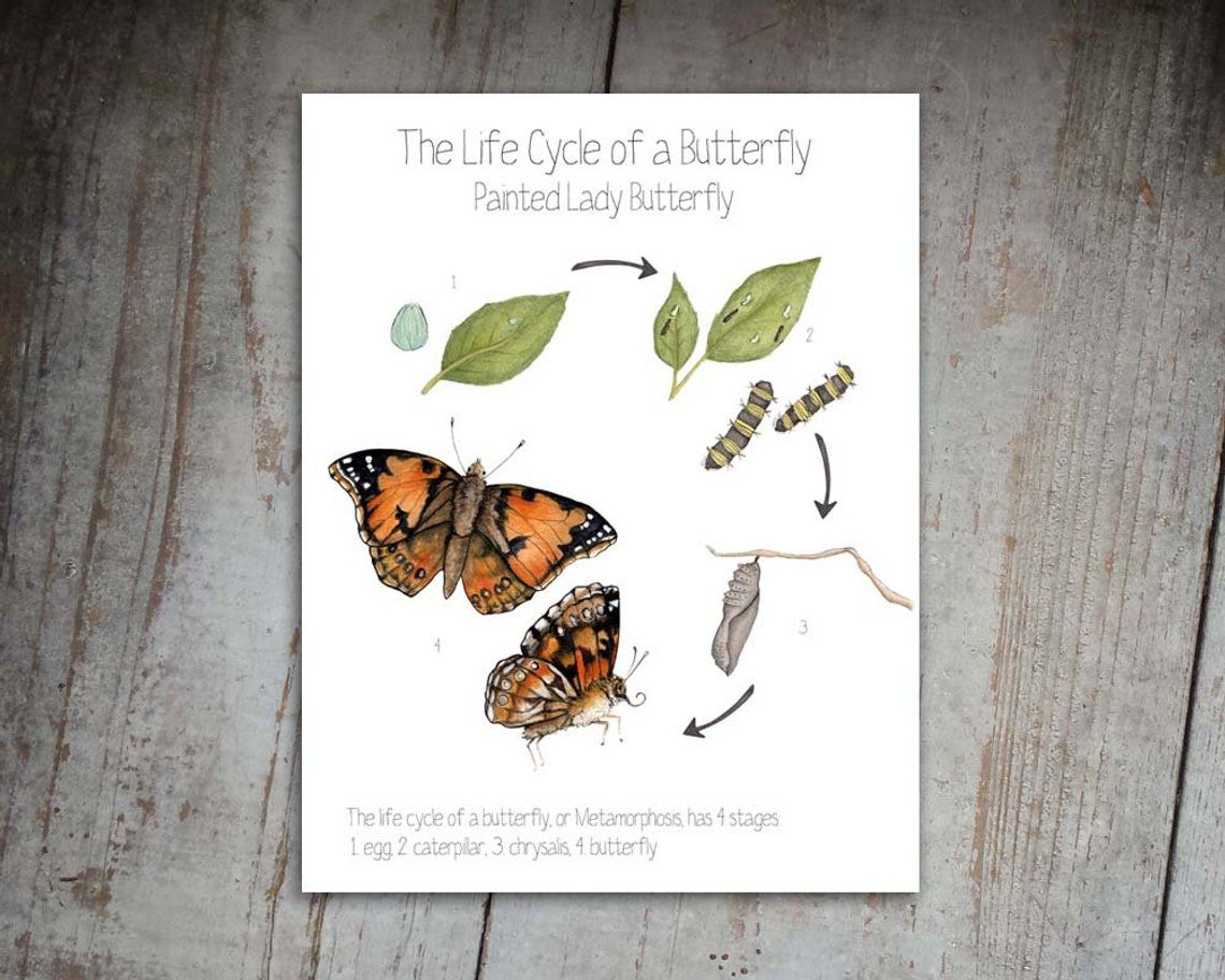 Butterfly Life Cycle Watercolor Illustration Print