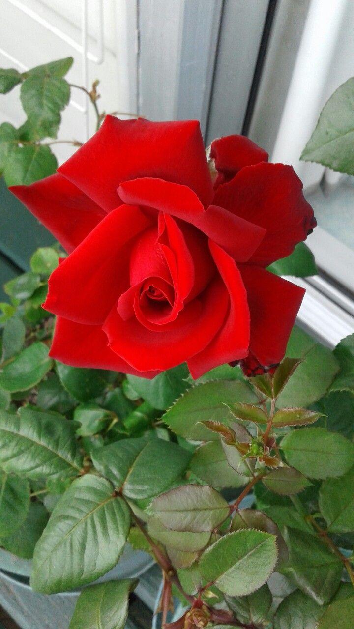My beautiful red rose roses pinterest beautiful red roses my beautiful red rose izmirmasajfo