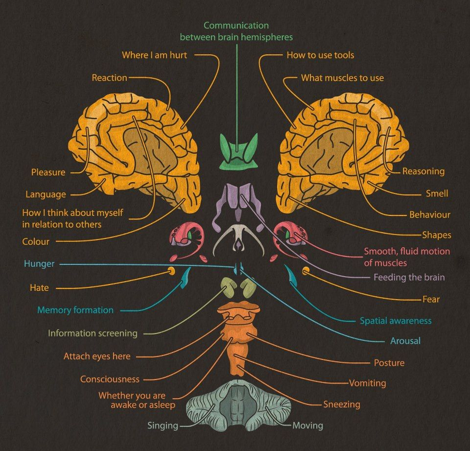 Mind Blown: An Exploded View of The Human Brain Visual.ly ...