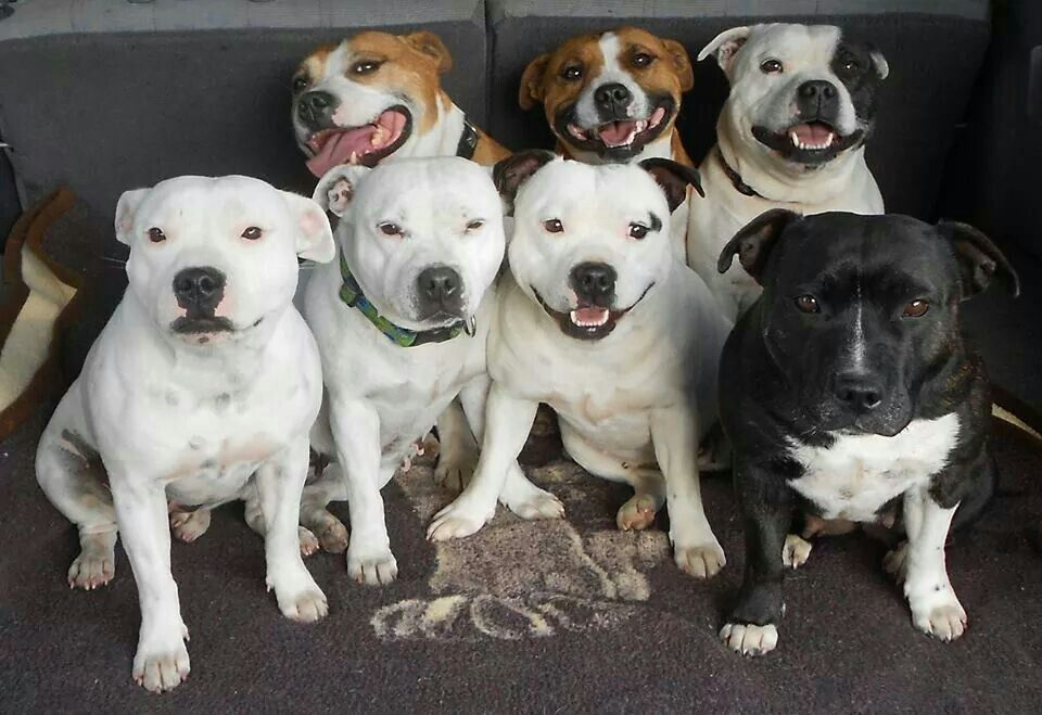 English staffordshire bull terriers. Group shot. Love