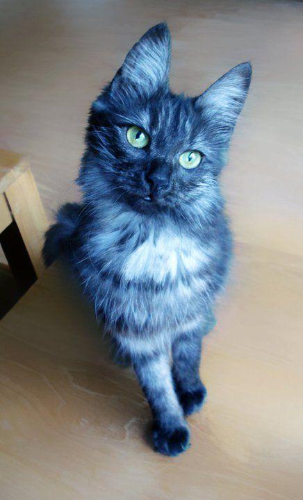 58ddfb418d Black smoke Turkish Angora cat -- did you ever see a blue cat  Cat