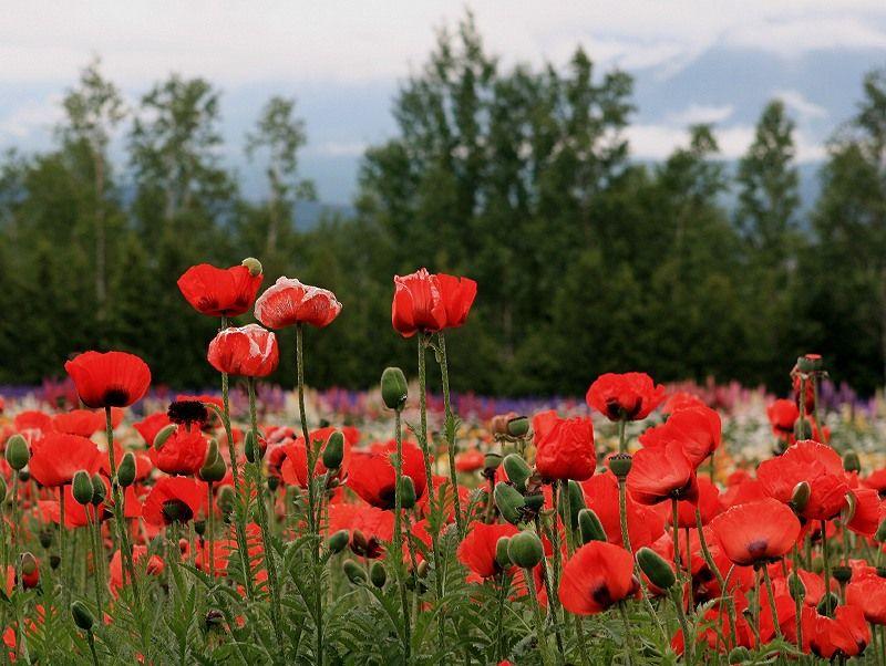 Red poppy flowers furano hokkaido flowers pinterest furano red poppy flowers furano hokkaido mightylinksfo