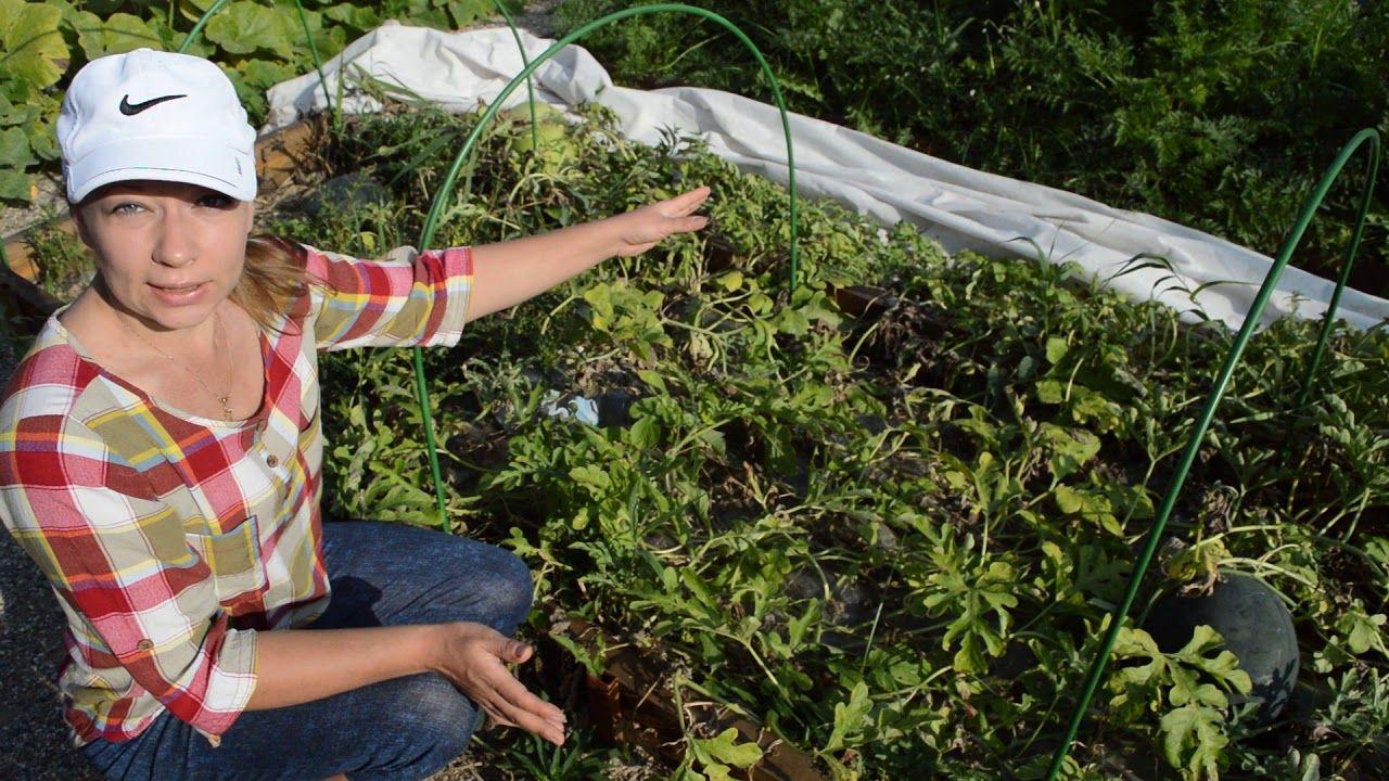 как вырастить дыню в подмосковье в парнике