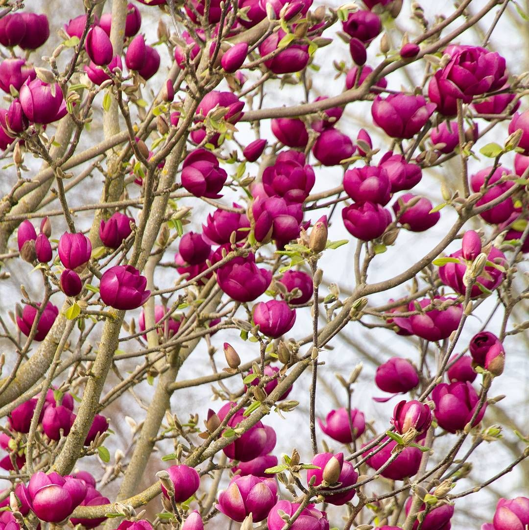 Black tulip magnolia is top of our holiday wish list its for Small specimen trees