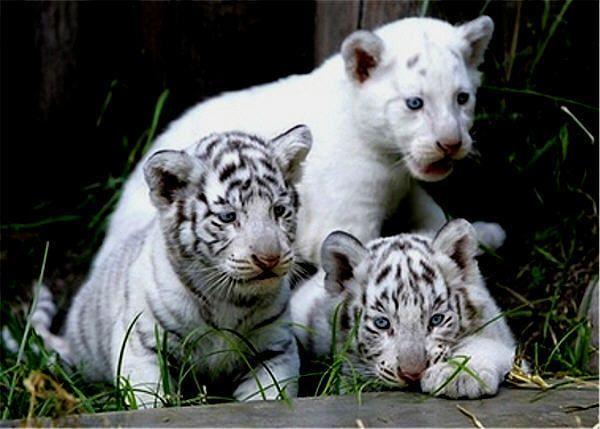 Resultado de imagen para white tiger