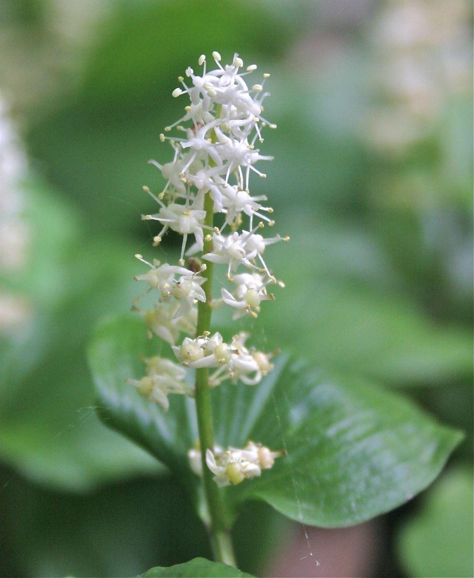 Fleurs sauvages du qu bec ma anth me du canada fleur printani re retrouv e dans les sous bois - Jonquille sauvage des bois ...