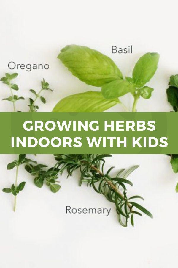 Growing Herbs Indoors With Kids Growing Herbs Indoors Herbs