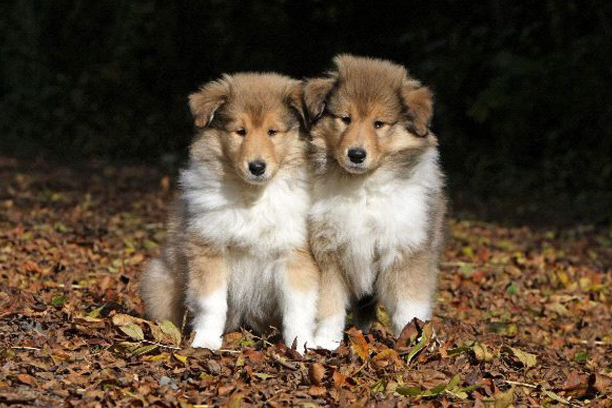 Smooth collie puppies for sale