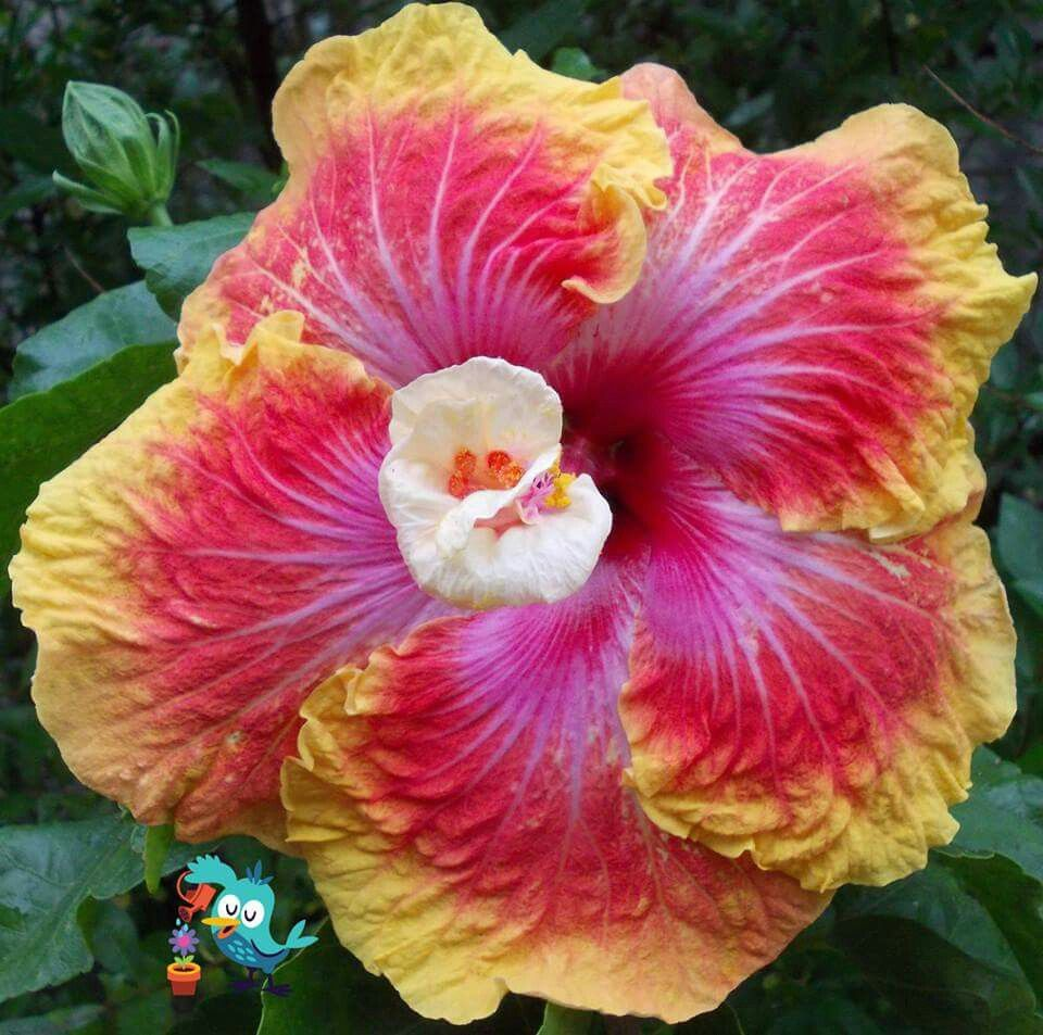 Piroska C Hibiscus Pinterest Hibiscus Flowers And Plants