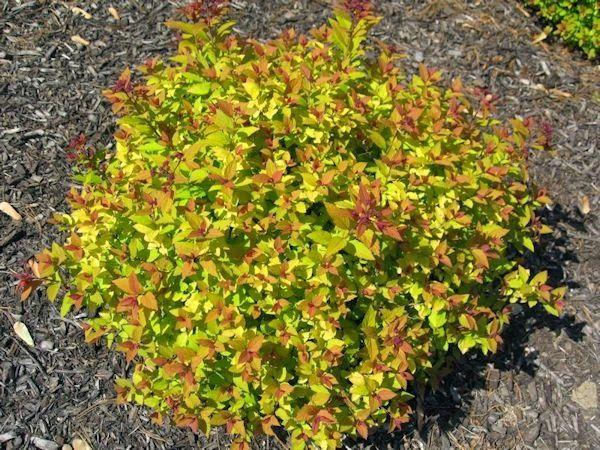 Deer Resistant Plants In The Landscape Deer Resistant 400 x 300