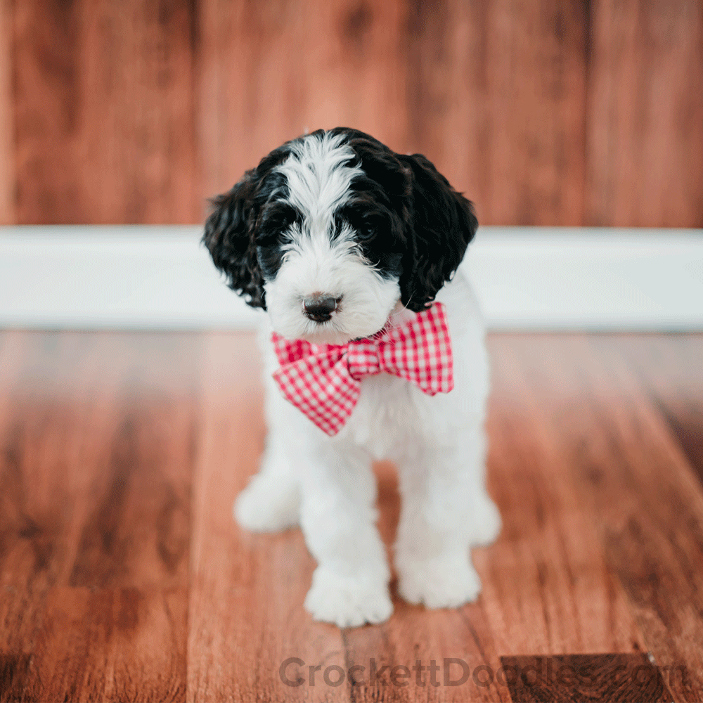 Black And White Springerdoodle Puppy With Checkered Tie Doodle Puppy White Labradoodle Puppies