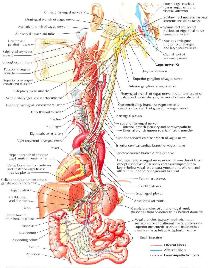Interesting article- Vagus nerve | Yoga Yoga | Pinterest