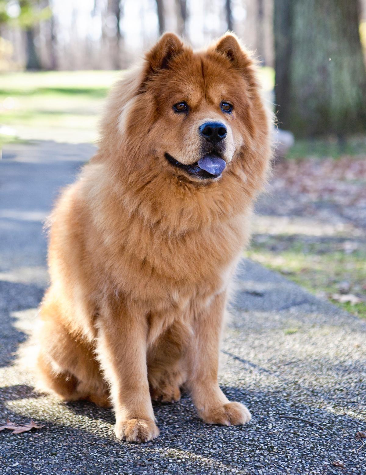 Must see Chow Chow Chubby Adorable Dog - 05cd62abb406a20b6fcb82d2ab7e6299  Image_34182  .jpg