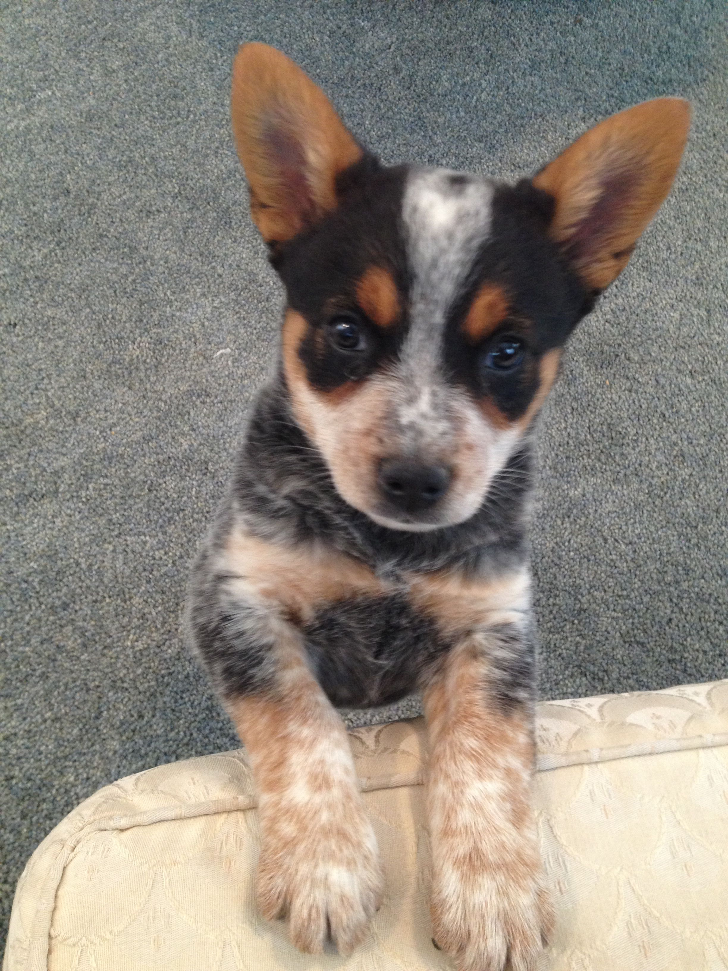 The Cutest Blue Heeler Puppy I Ve Ever Seen But I M A Little Bias Blue Heeler Puppies Heeler Puppies Blue Heeler Dogs