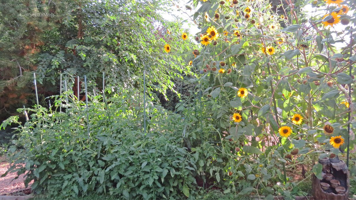 Sunflower Garden Ideas my dads sunflower garden Sunflowers And Tomatoes Are Great Companion Plants The Sunflowers Attract Pollinators Which Then Pollinate The
