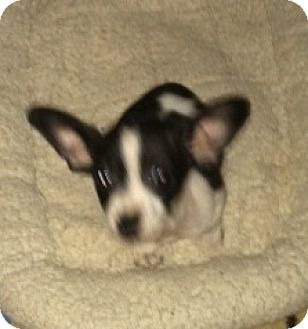 Holly Springs Nc Chihuahua Mix Meet Yoda A Puppy For Adoption