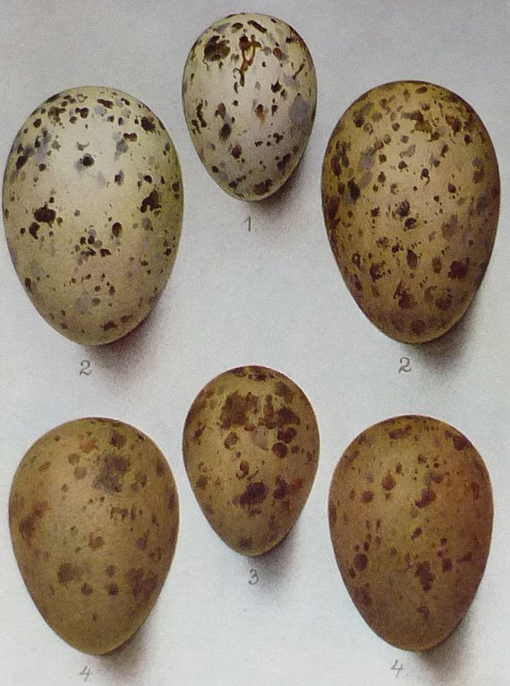 1930 Vintage Print Of Bird Eggs Painted By Henrik Grönvold ...