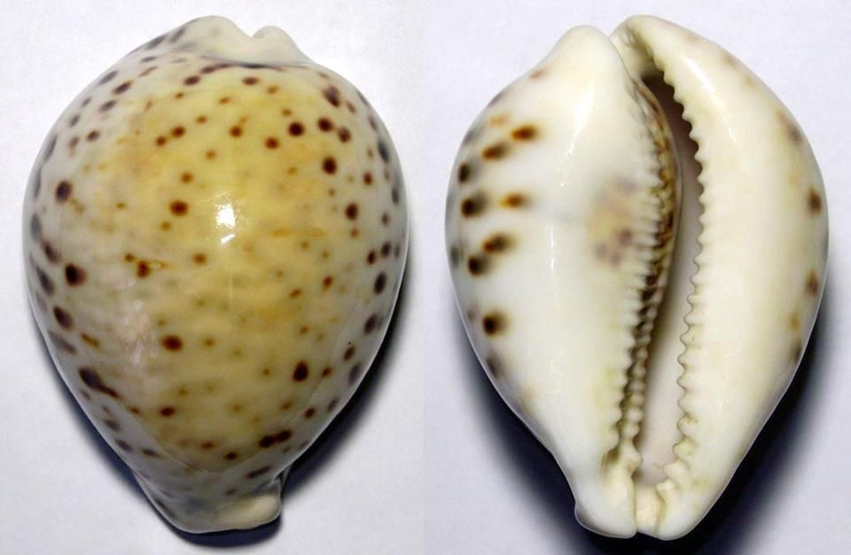 cypraea tigris yellow new caledonia rare cowry kauries porzellanschnecken pinterest. Black Bedroom Furniture Sets. Home Design Ideas