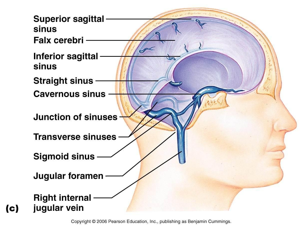 Superior Sagittal Sinus | Transverse Sinus | Recipes to Cook | Pinterest