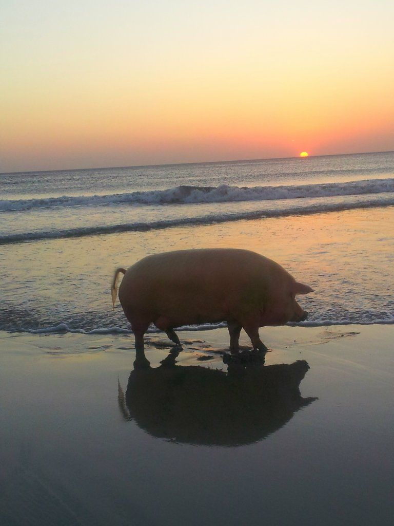Pig on the beach in Costa Rica Hahahah Bette