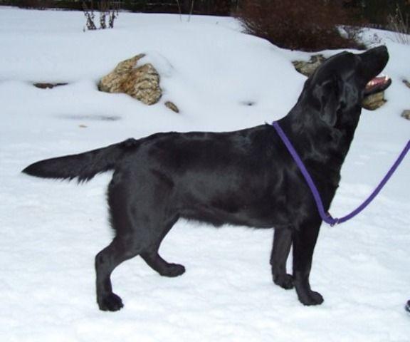 Paddington Labrador Retrievers | Breeder Search | Labrador breeders
