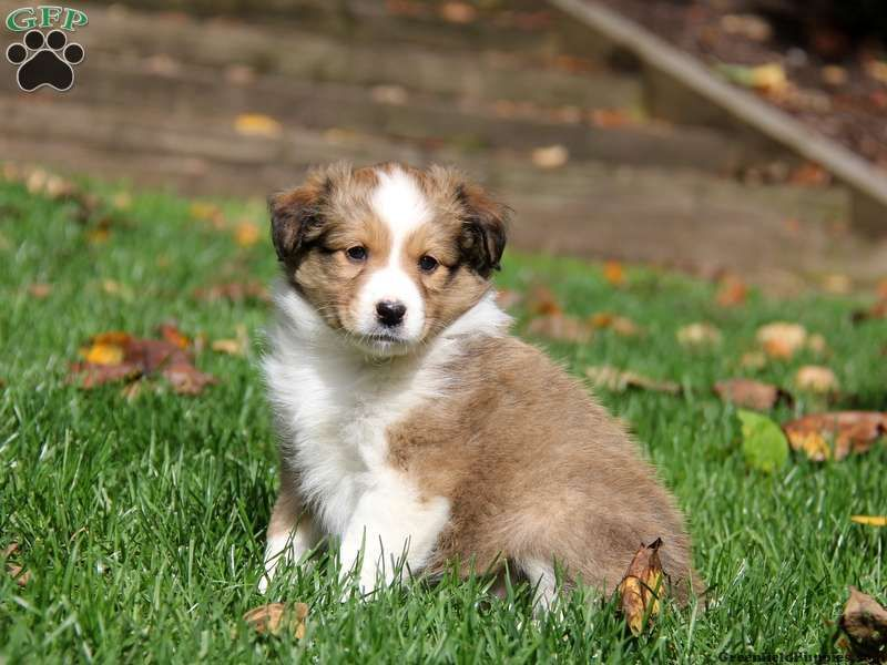 Tina Sheltie Mix Puppy For Sale In Parkesburg Pa Puppies